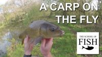 How do I catch carp with a fly fishing rod?